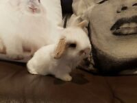 1 male mini lop left ready 06/10-16 at 8 weeks old. white and fawn
