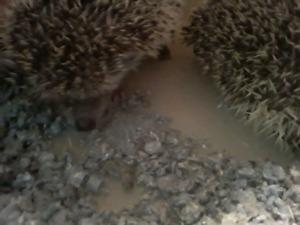 10wk old female hedgehog