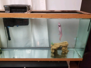 2 fish tanks with axolotls