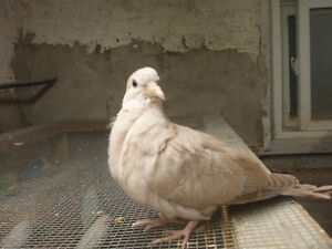 RING NECK DOVES FOR SALE very young bird