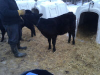 Angus x calves for sale bottle fed to feeders