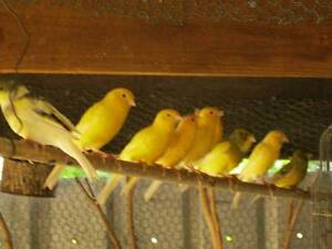 Canaries For Sale Laidley Lockyer Valley Preview