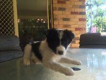 Border Collie X Kelpie Pups Annandale Townsville City Preview