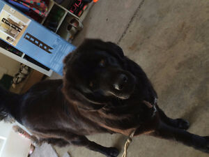 Tibetan Mastiff-female-4yrs old