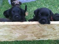 Jack Russell X Patterdale Puppies for sale