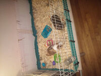 Free guinne pigs with cage