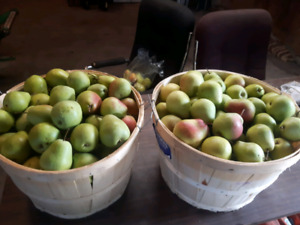 Free bushel with purchase of flemish beauty pears