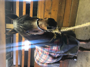 Pony mare for lease and lessons
