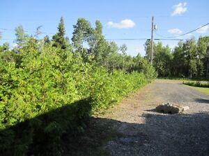 SWAMP CEDAR TREES FOR  PRIVACY CEDAR HEDGES 4 FEET TO 12 FEET TA