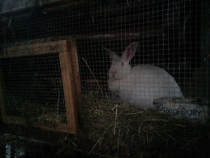 Hay and Grass Fed Rabbit Meat London Ontario image 4