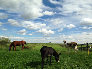 Horse Boarding Available South West of Edmonton Edmonton Edmonton Area image 5