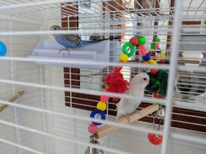 2 jeunes perruches avec cage, bain et nourriture