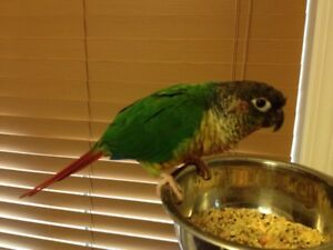 Sweet Yellow sided Conure