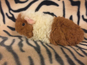 Baby Texel Guinea Pigs *Rare*