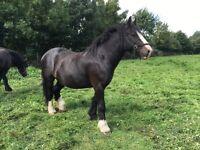 15'1 black gelding