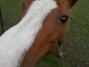 FOUND, LOOKING FOR THIS PONY Chatham-Kent Ontario image 4