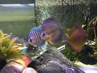 Discus Fish Selling