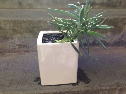 Succulent Plant in a white ceramic pot Maylands Bayswater Area Preview