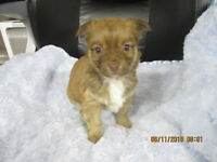 UNIQUE CHIHUAHUA CROSS PUPPIES AVAILABLE