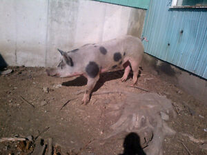 Boar for sale, Boar for sale, Boar for sale...pig for sale, pig
