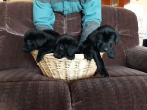 Beautiful Black Labrador Puppies!