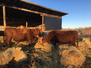 Bred Red Angus Cows