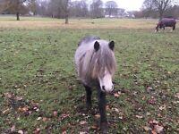 4 yr Companion pony free to good home