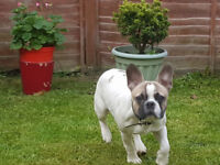 French Bulldog puppy for sale. 7 months old