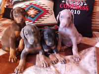 Doberman Puppies  american