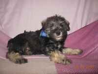 Miniature Schnauzer ready to go
