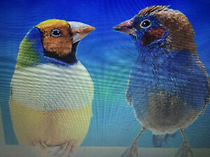 Pinsons Canaries perruches cages et volieres
