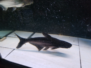 """Poisson,young Shark in very good health 12"""" 13"""""""
