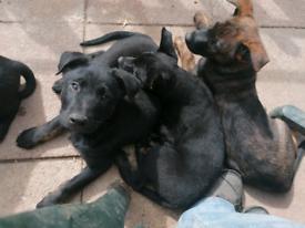 Dutch Herder Puppies
