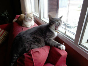 URGENT-Need good home, 2  male Tabby cats