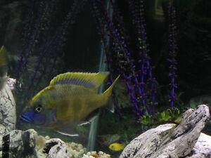 Two African Cichlids - Nimbochromis Venustus