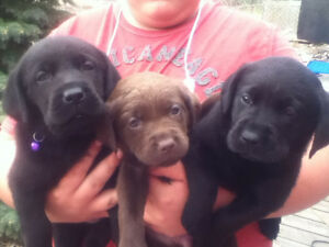 9 NEW LABS -5 CHOCLATE & 3 BLACK-PUREBREAD!!!