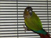 Normal Green Cheek Conure