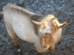 Nigerian Dwarf Goat Buck a Proven Breeder