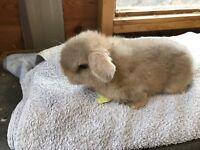 Minilop baby
