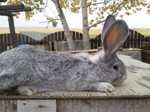 pedigreed Flemish Giants