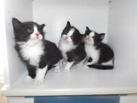 Free kittens - 2 Black And White Males Left