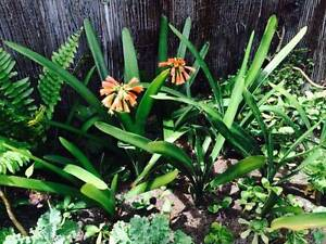 Clivia Miniata Perennial (approx 20 avail @ $10 each) Bayswater Bayswater Area Preview