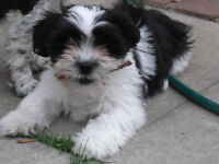 CHIOT MALE HAVANAIS / MALE PUPPY HAVANESE