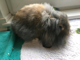 Gorguous Male Lion Lop Rabbit 4 Month For Sale | Serious buyers only*