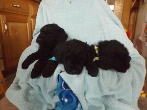 Giant Schnoodle(Giant Schnauzer X Standard Poodle