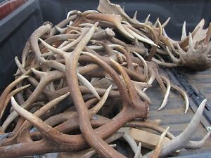 Buying Moose, Elk and Deer Antler Sheds