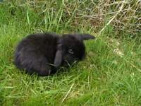 small black dwarf rabbit FREE