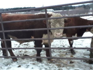 Pure  breed herfort bull 3 years old with papers asking 2500$