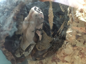 RedTail Boa for SALE