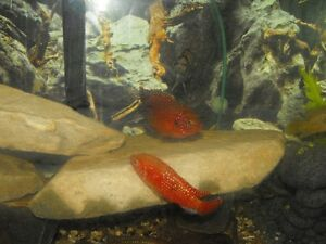 Young Adult Red Jewel Cichlids